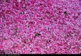 غنچهی گل محمدی